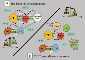 Panel A: Immune-mediated tumour killing requires a Th1 microenvironment. In the presence of Th1 cytokines, tumours upregulate MHC I and co-stimulatory molecules necessary for cytolytic T-cells (CTL) to recognise and kill the tumours. In addition, the inflammatory Th1 environment can non-specifically activate T-cells to kill tumours through FasL and TRAIL effector molecules. Panel B: Tumours condition the microenvironment to have a dominant Th2-bias as a strategy to escape immunemediated attack. In the presence of Th2 cytokines, tumours down-regulate MHC and co-stimulatory molecules, attract suppressor cells such as Treg and myeloid suppressors which suppress killer cell function. The Th2 environment down-regulates co-stimulatory molecules on APC which serves to anergise any Th1 cells that may infiltrate the tumour, whether as a natural immune response or through tumour vaccination strategies. Therefore, strategies to boost Th1 immunity alone are not sufficient to mediate anti-tumour immunity. Sustained Th1 cytokine production is required in the tumour microenvironment.